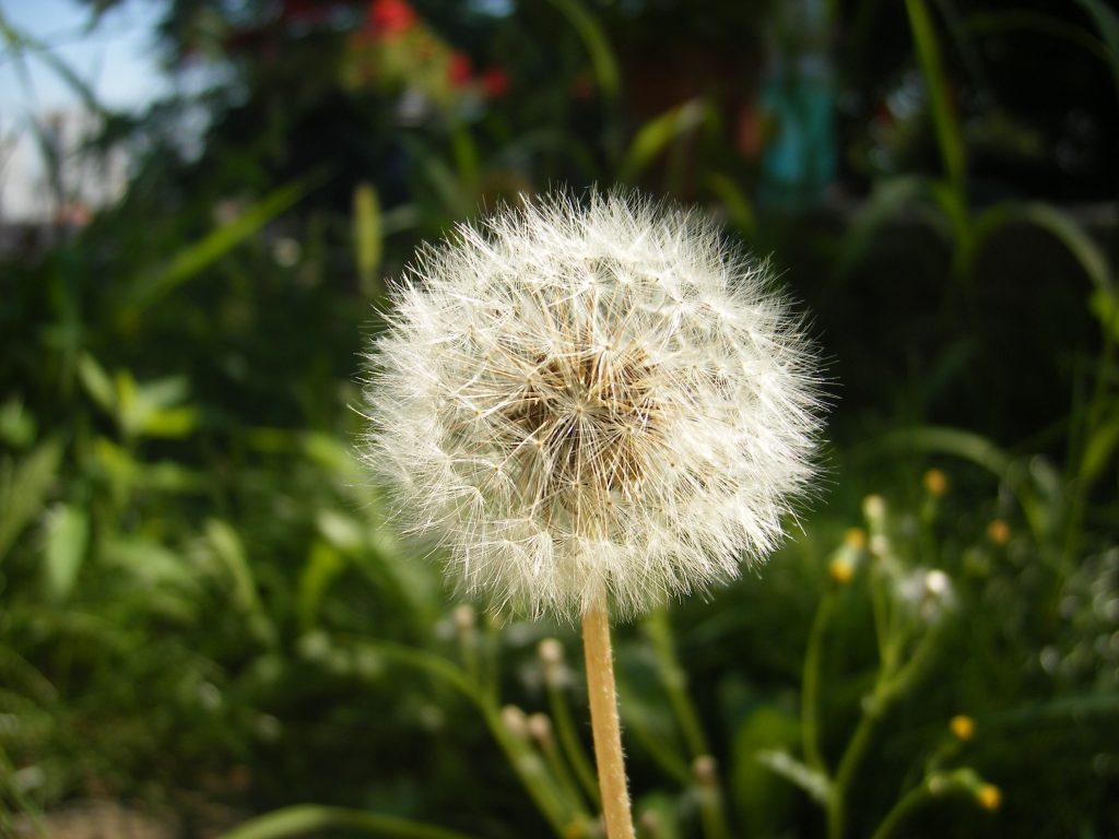 Dandelion_fluff